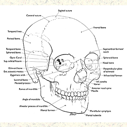 online ups wiring diagram with Diagram And Labels Of The Skull on Volvo 240 1983 1993 Repair Manual besides Diagram And Labels Of The Skull besides Diagram Showing Evolutionary Relationships together with Leece Neville A0014874jb additionally Low Voltage Disconnects.